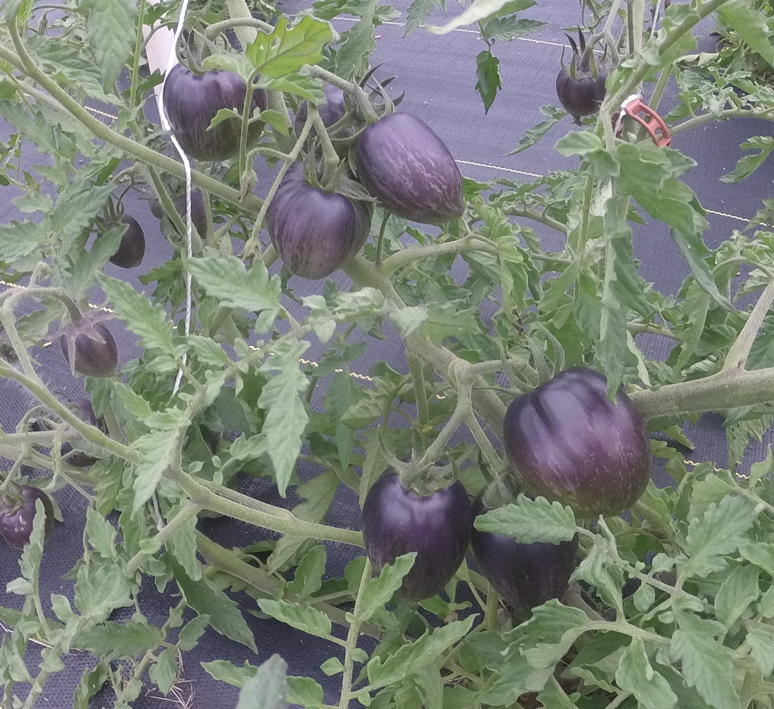 Brads Atomic Grape Tomato