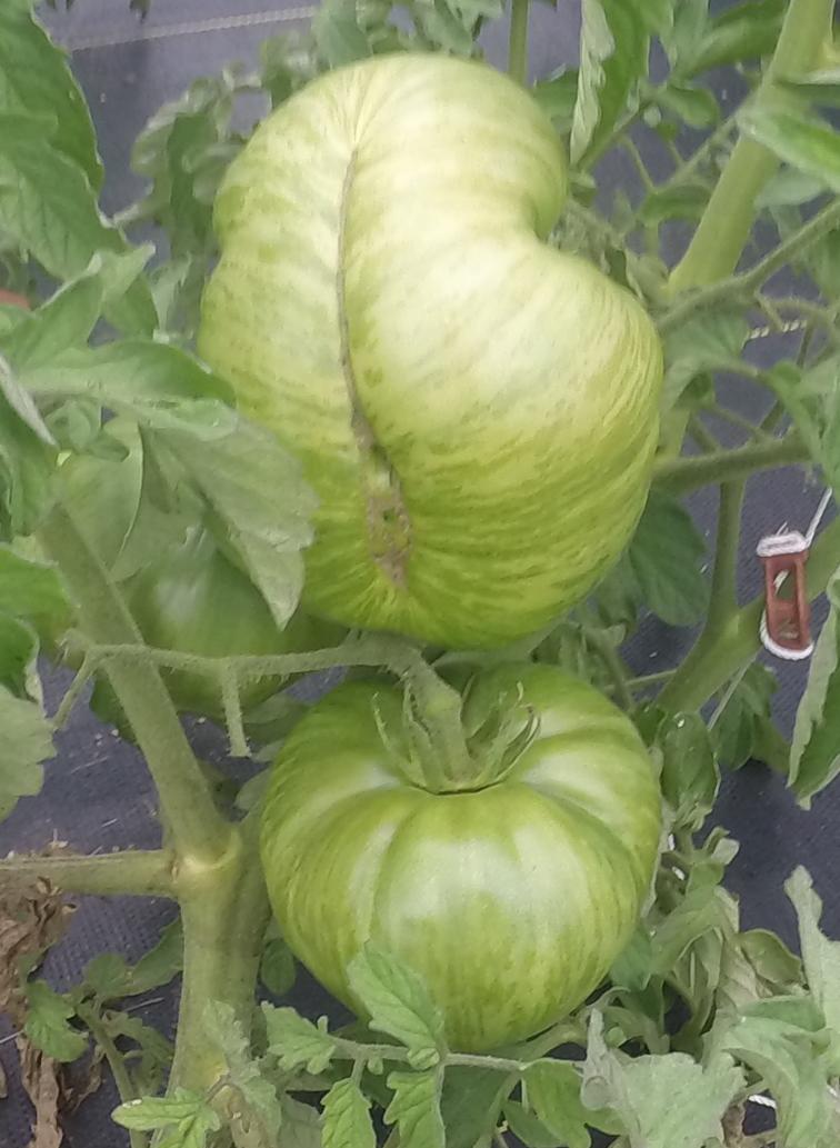 Pink Berkeley Tie-Die Tomato