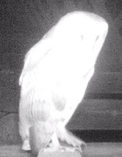 Barn Owls!!!