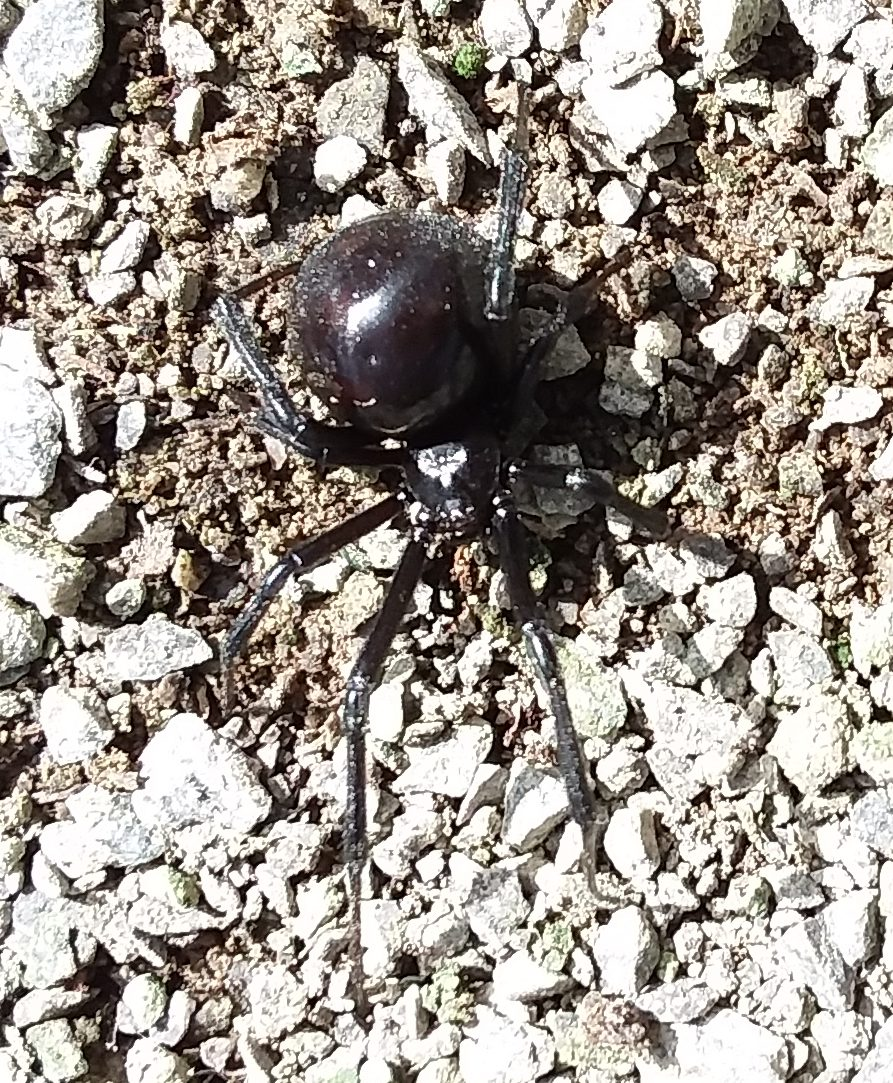 Black widow spider walking along the ground in the greenhouse.