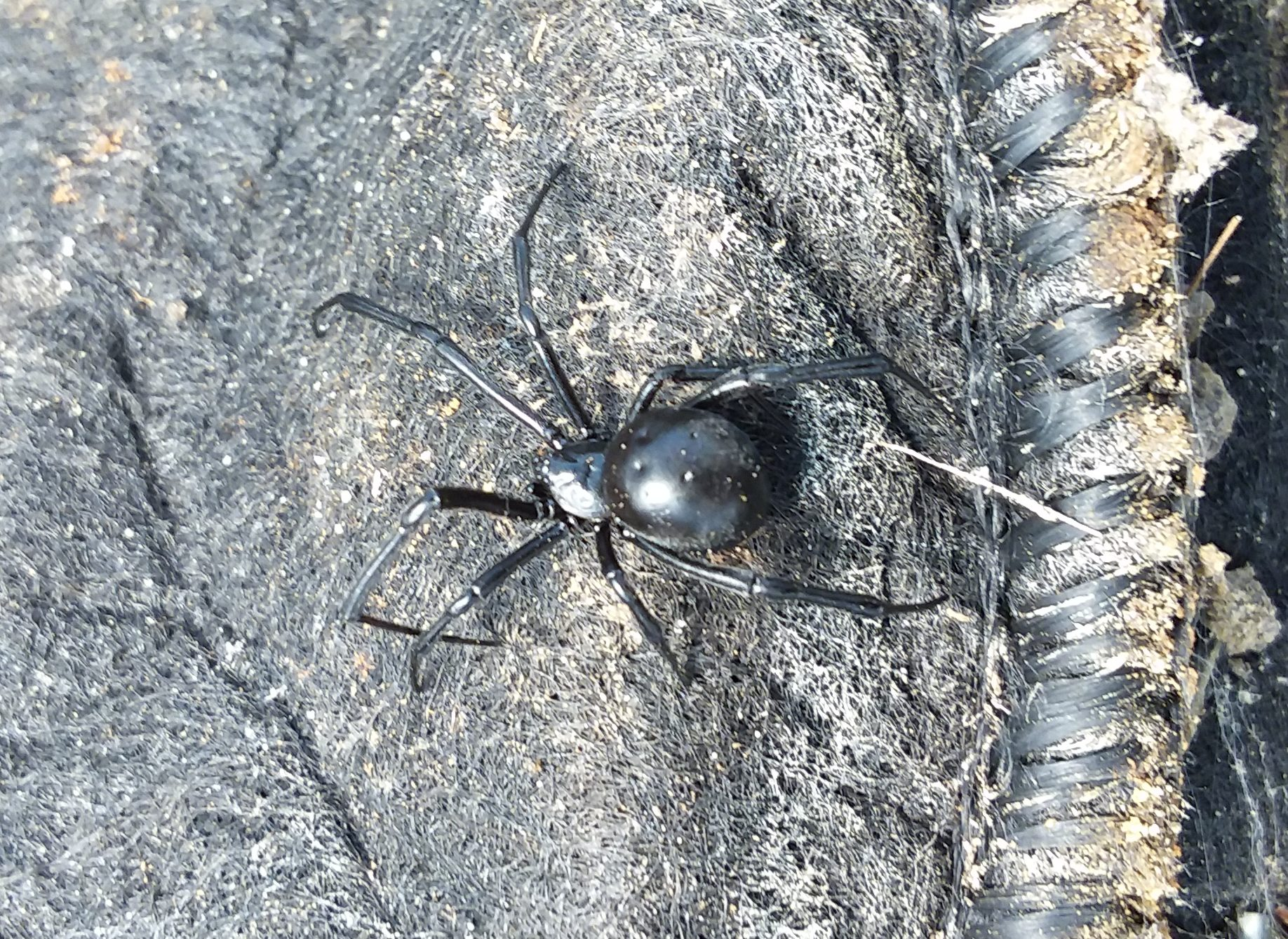Found this one-inch black widow living among the smart pots in my greenhouse.